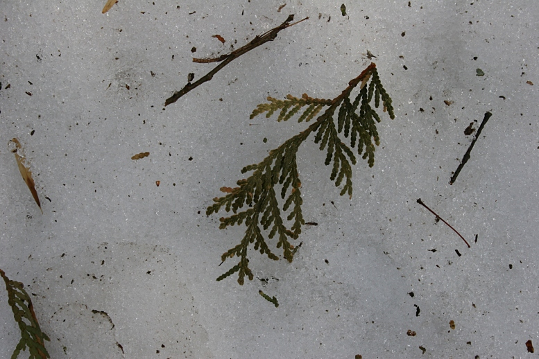 A snippet of green cedar upon snow.
