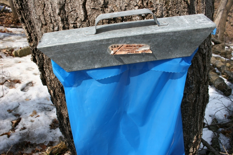 Trees tapped to collect sap in bags.