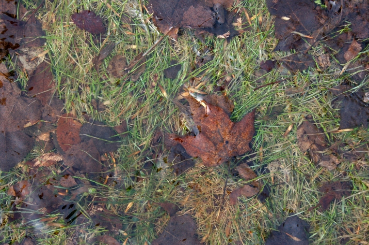 Patches of green grass mingle under water with dead leaves.