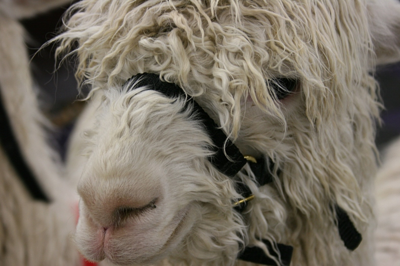 Eyes buried in fleece.