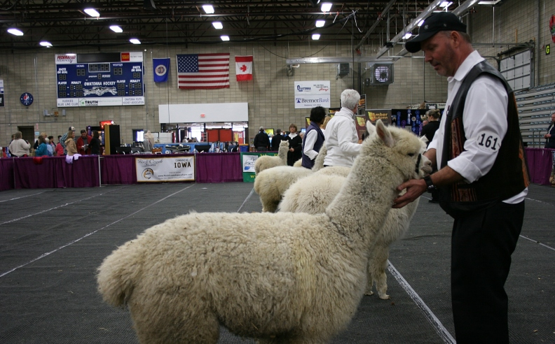 In the judging ring.