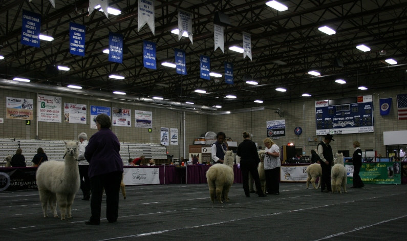 In the show ring.