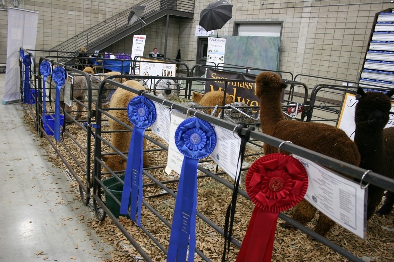 Award-winning alpacas.