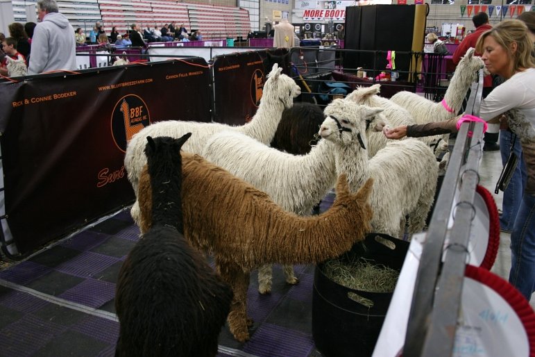 I learned about the Suri breed of alpaca, which resemble mops to me.