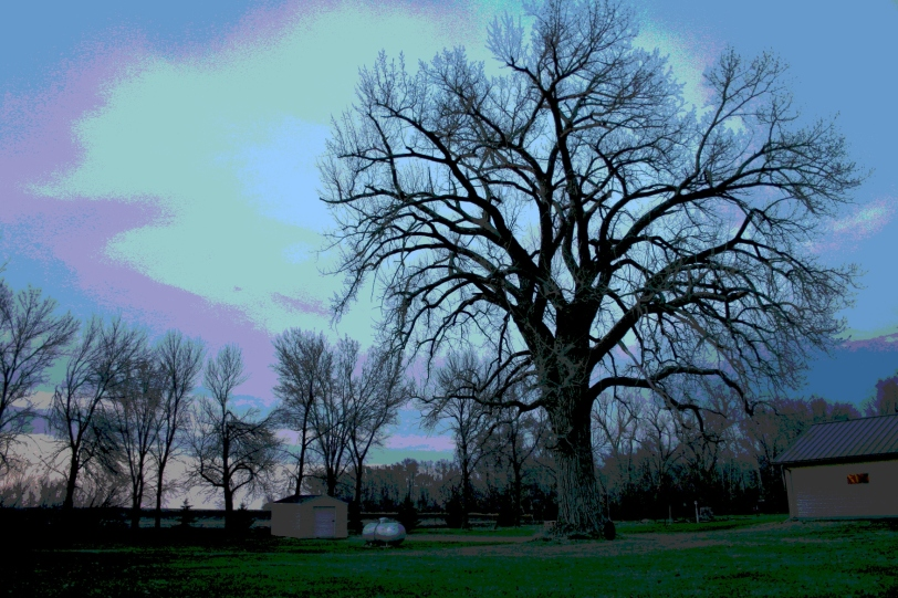 The ancient cottonwood stands on the north edge of Vesta, Minnesota.