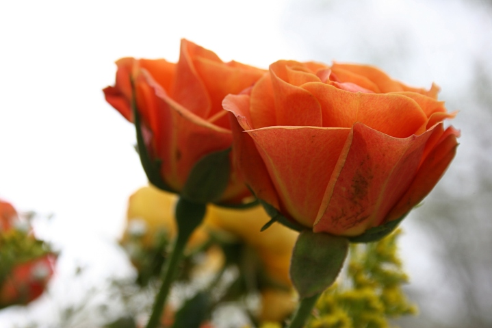 Bouquet, orange roses