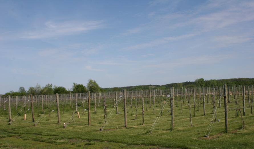 A vineyard at Grandview Valley Winery, rural Belview, Minnesota.