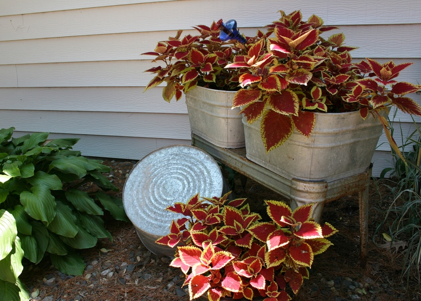 Washtub coleus add a spot of color in a sideyard space next to the house.