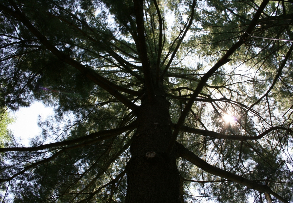 Beautiful towering pines fill the property.