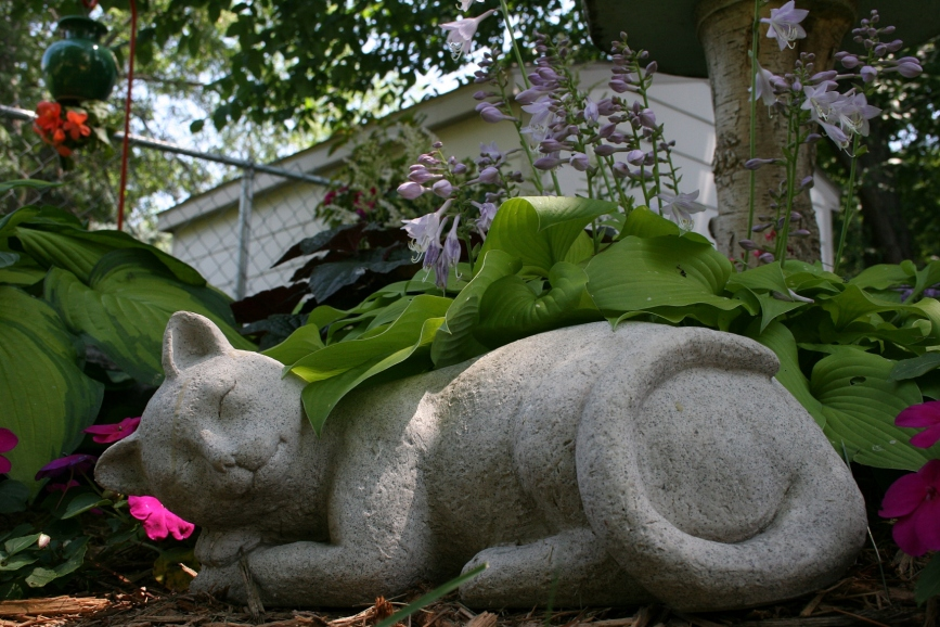 I placed my camera on the ground to photograph this cat napping among hostas and impatiens.