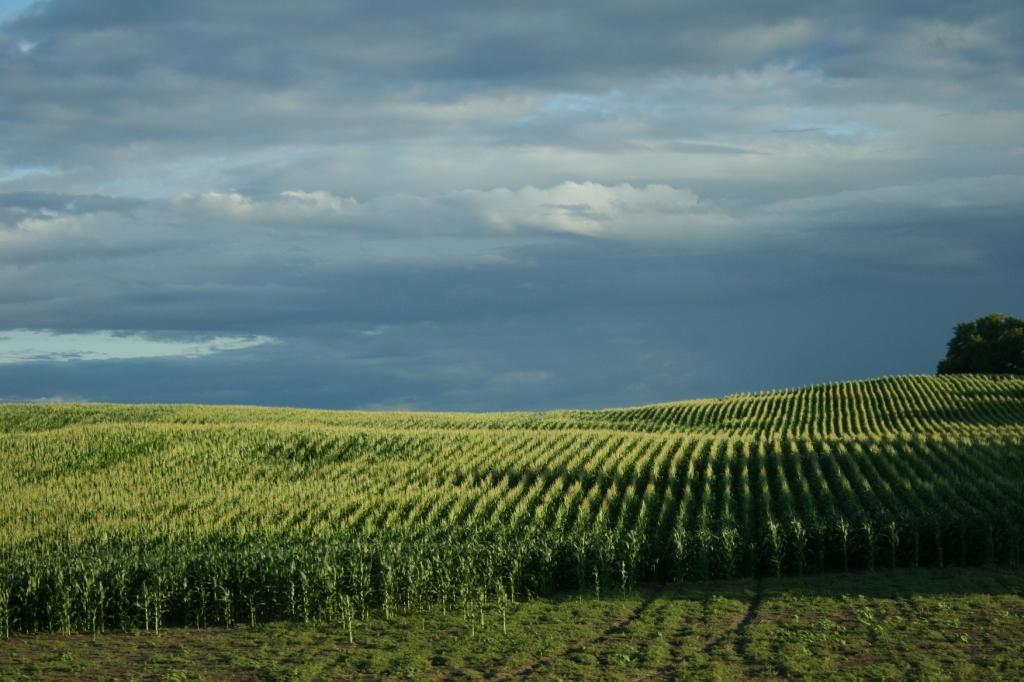 Light ripples across a hillside of corn between Waterville and Faribault along Minnesota State Highway 60.