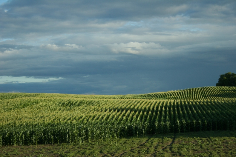 Light ripples across a hillside of corn between Waterville and Faribault along Minnesota State Highway 60.