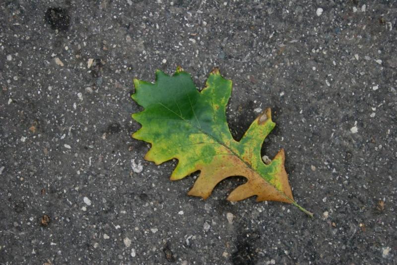 My husband and I noticed lots of oak leaves fallen from trees and oaks that appeared diseased.