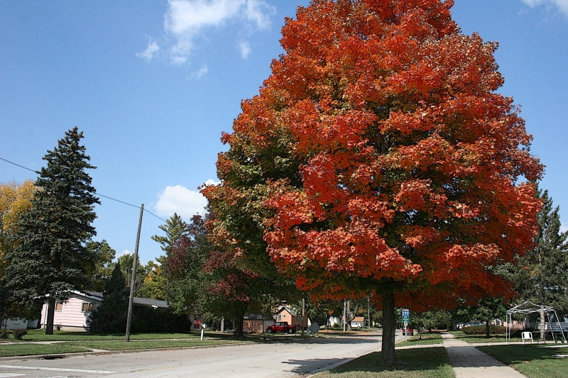 Maples are flaming, like this one alongside Minnesota State Highway 60 on the east side of Faribault.