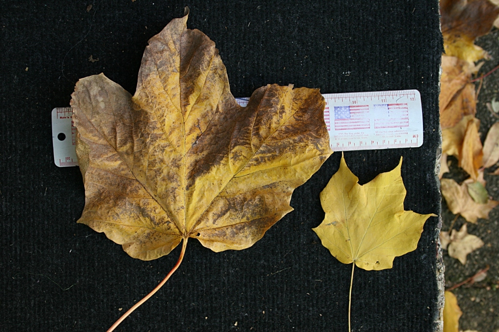 The monster leaf on the left measures nine inches across, here compared to a more normal-sized maple leaf.