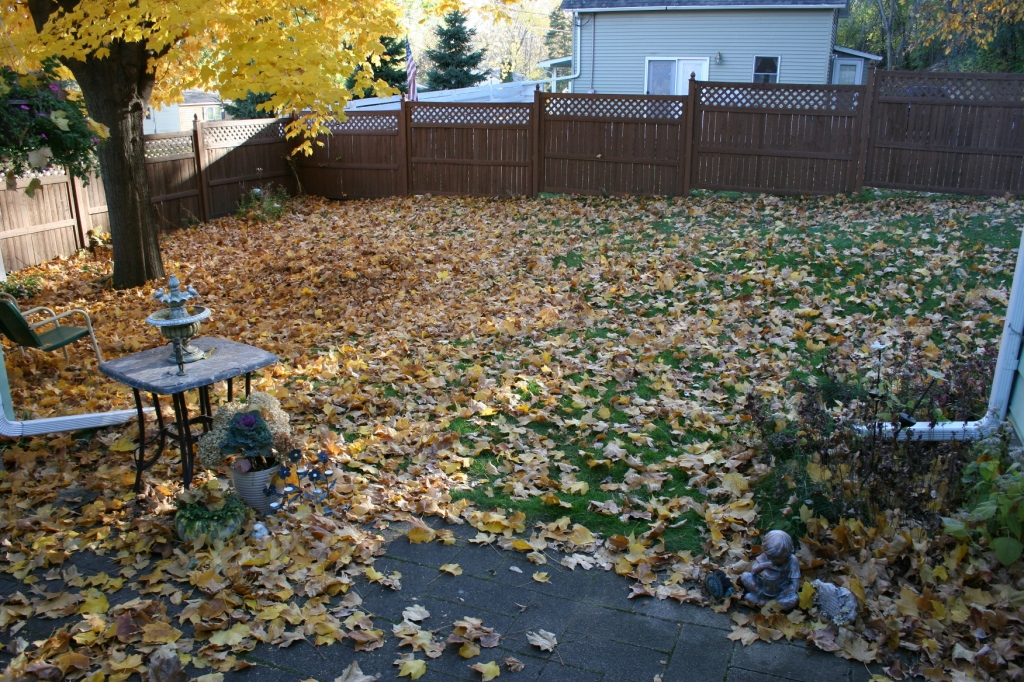 A view of my backyard taken from the back steps shows the one maple tree that has dropped all those leaves.