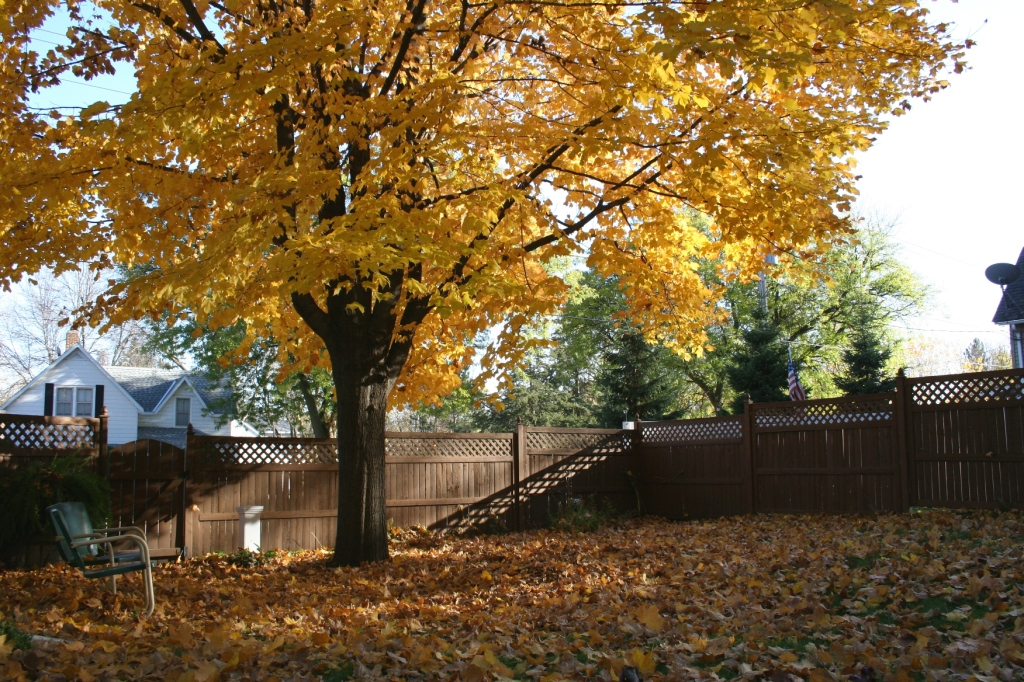 Every day more leaves drop from my backyard maple. I know I will wake up one morning soon and  the branches will be bare.
