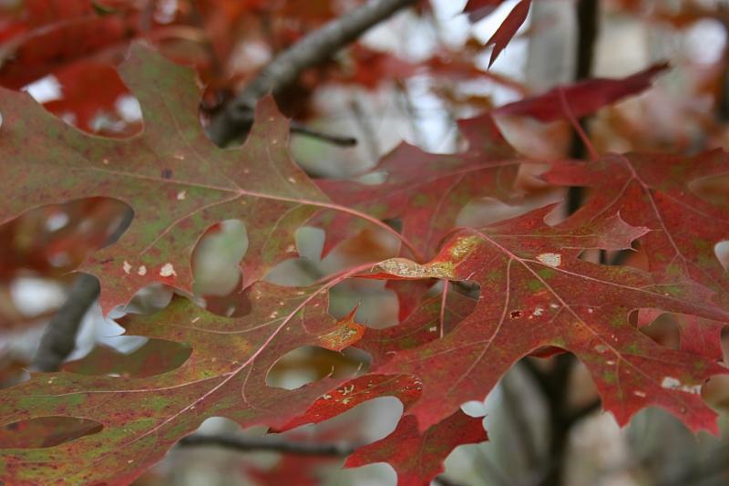 More oak leaves