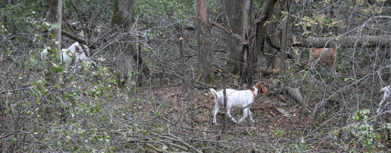 A group of goats are grazing on Buckthorn at River Bend.