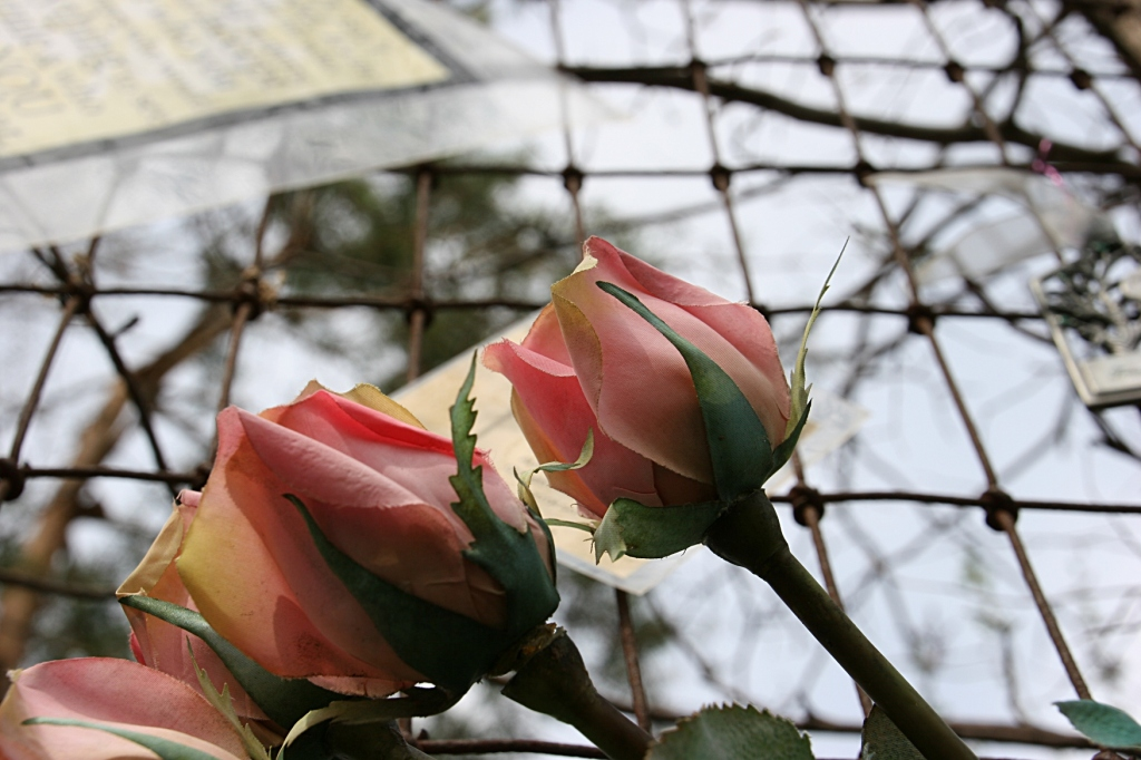 Roses abound, including these on the fence.