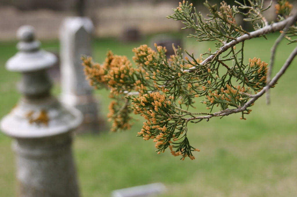 Trees are budding in the old cemetery.