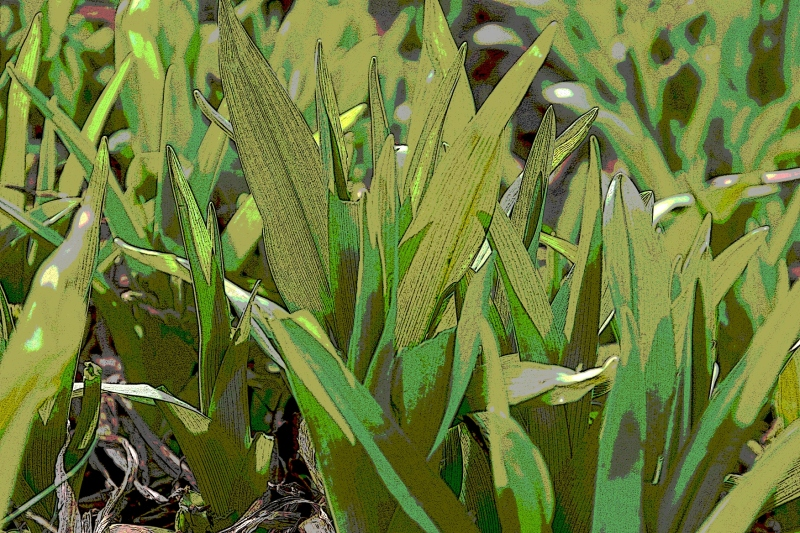 Wild day lilies are emerging.