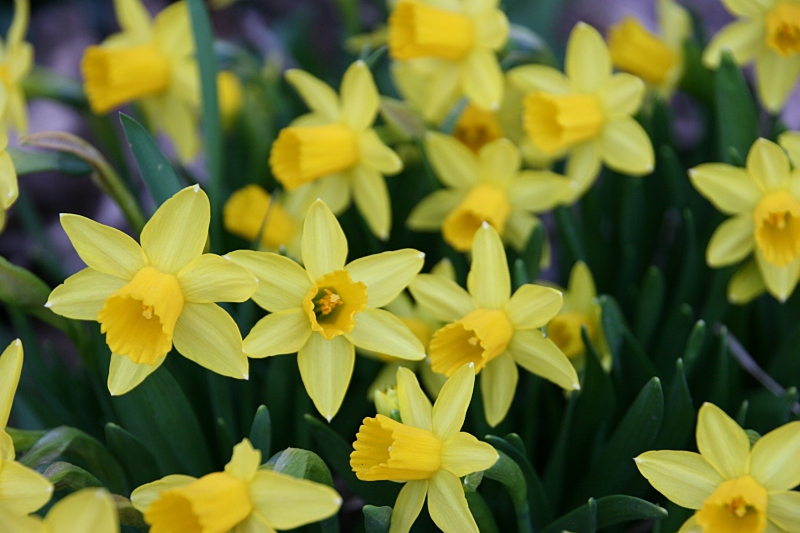 My daffodils are in full bloom here in southeastern Minnesota.