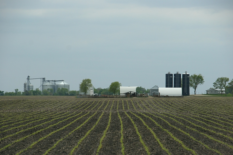 Corn rows emerge in a field near Delhi in southwestern Minnesota.