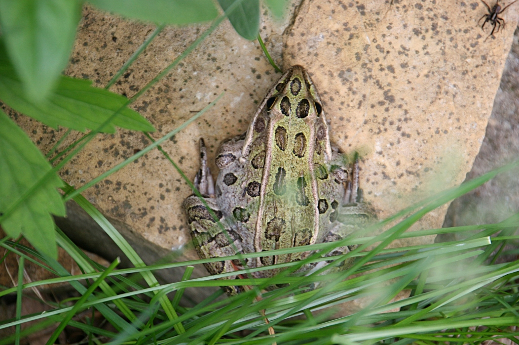I was pulling weeds in a flowerbed when I discovered this frog.