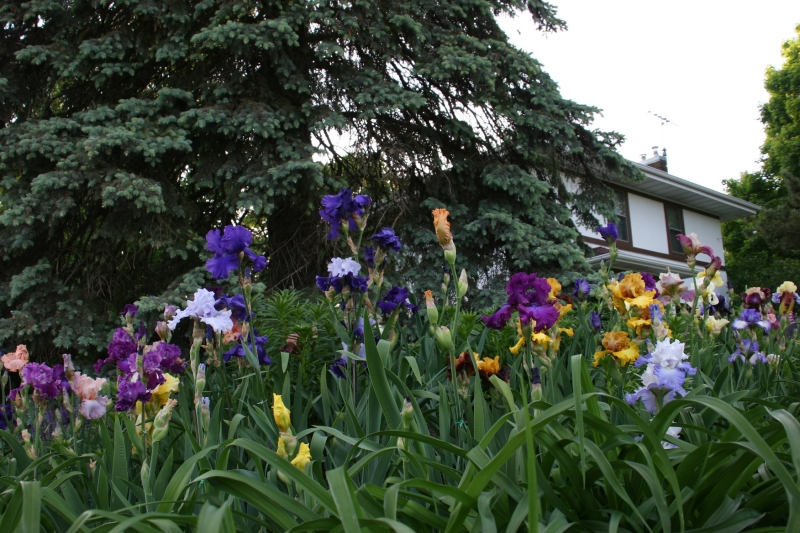 On the Shumway Avenue side, more irises.