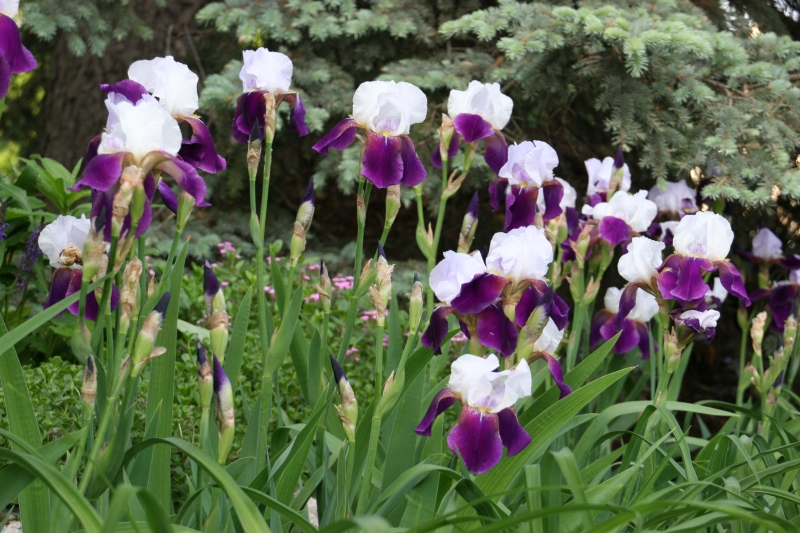 Iris, grouping of purple and white 7