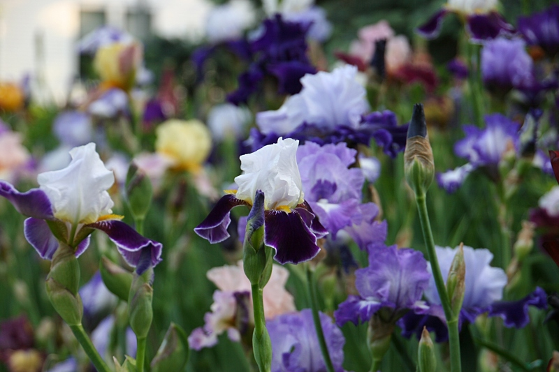 Beautiful masses of irises.