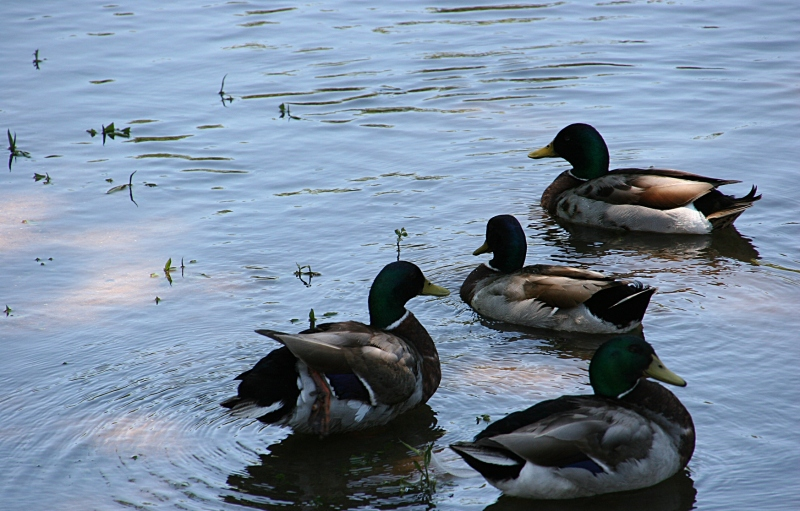 Ducks and geese overrun Morehouse Park. So watch for droppings. Everywhere.