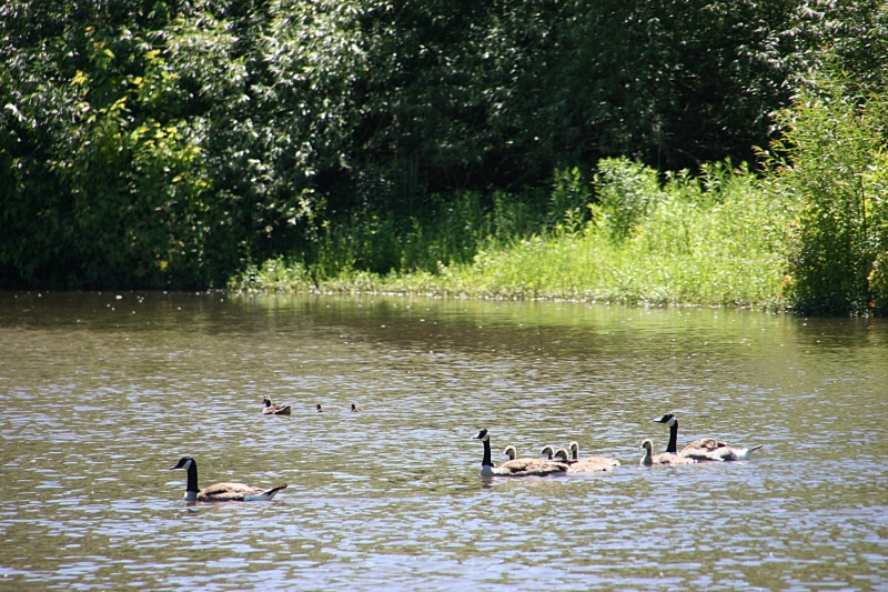A trail of geese in the tranquil part of the Straight River.