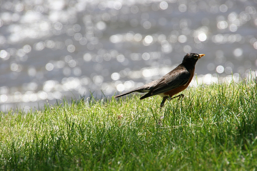 A robin hops along the bank of the Straight River in the dappled sunlight of a June afternoon.