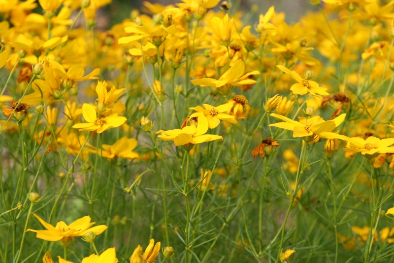 Flowers, field of yellow flowers