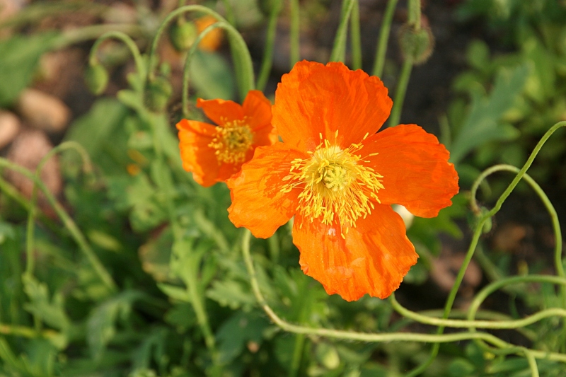Flowers, orange flowers