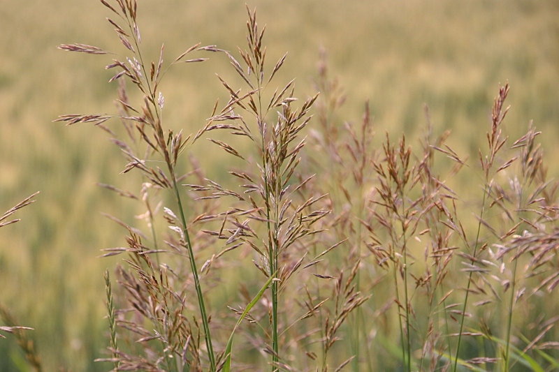 Beautiful brohm grass. As a child, my siblings and I would play make-believe in the tall grass on our farm.