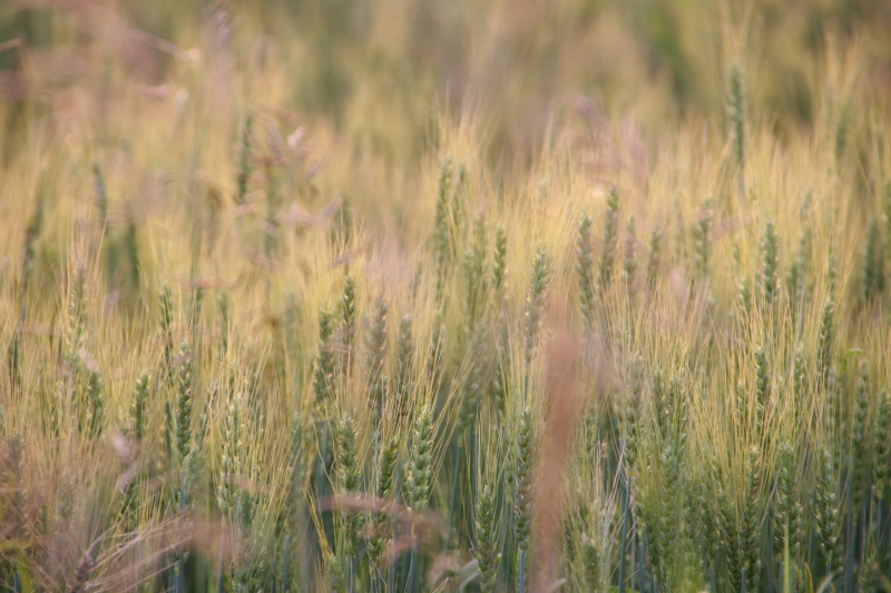 Wheat in the field just across the fence line.
