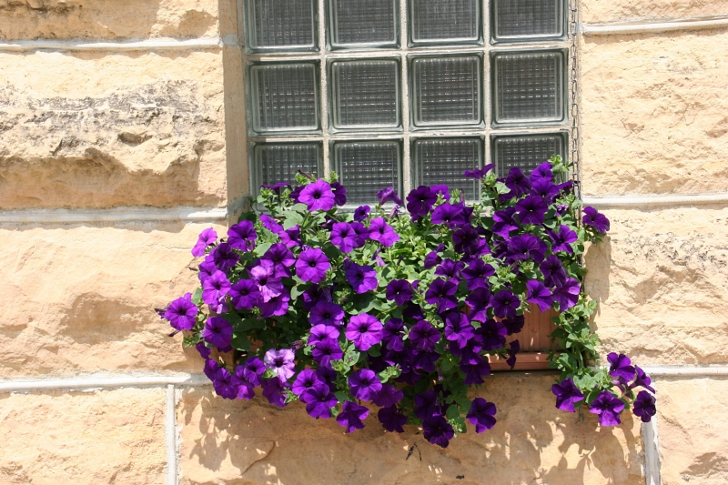 Petunias spill from a windowbox at the front of the school.