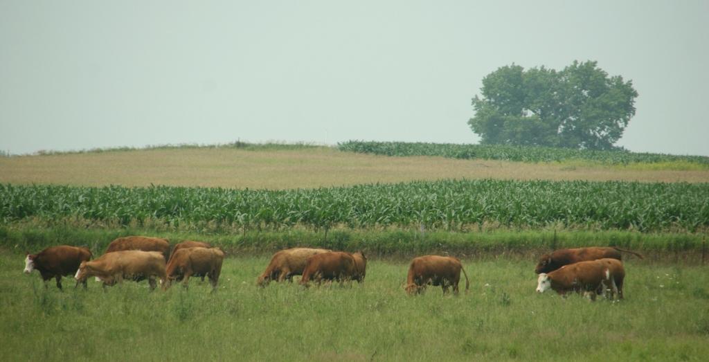 Cattle graze in a pasture along U.S. Highway 14.