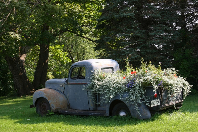 Flowers are past their prime, but still lovely, in this vintage Ford pick-up truck parked on the Fossum farm along Rice County Road 28 east of Northfield.