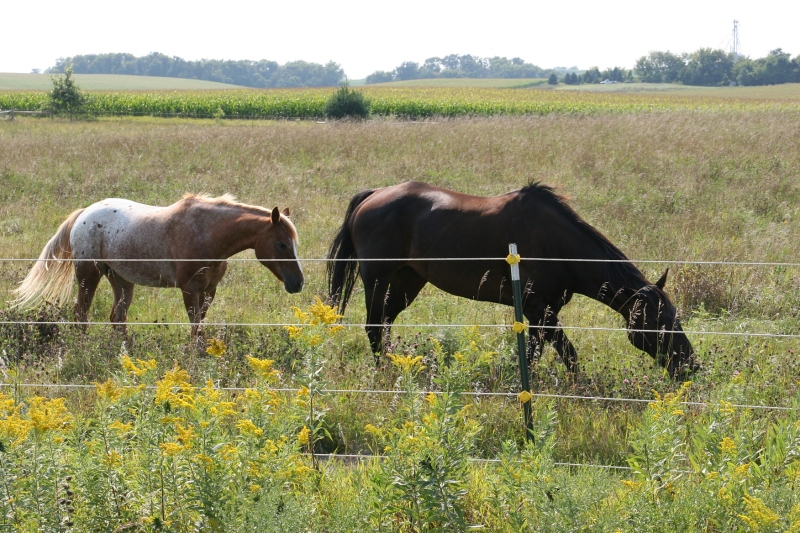 Beautiful horses and beautiful goldenrod somewhere east of Northfield.