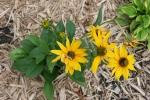 Garden, black-eyes susans