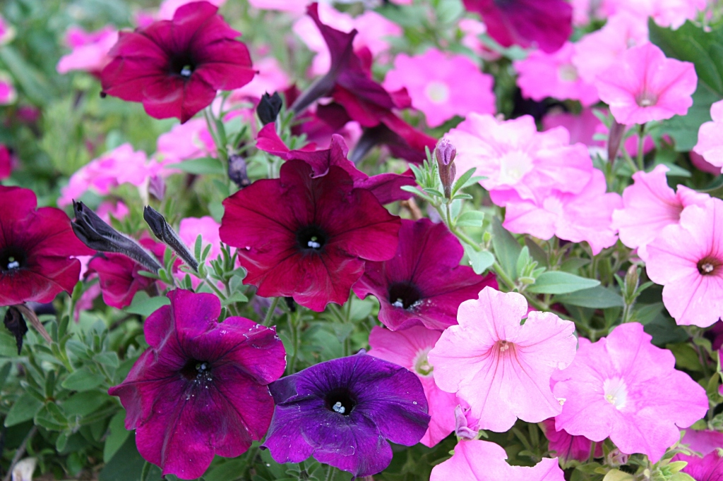 Gorgeous petunias add color to the garden.