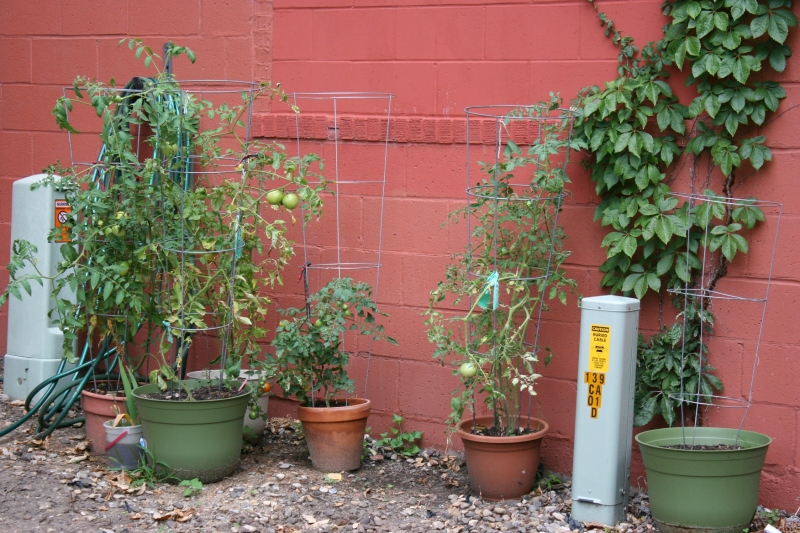 Potted tomatoes will eventually be planted in yet to be built raised beds.