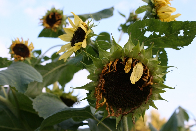 Hannah's sunflowers