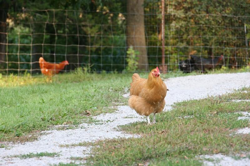 Chickens, buff colored chicken