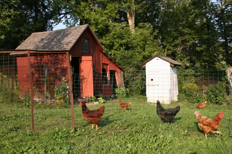 Chickens, coop