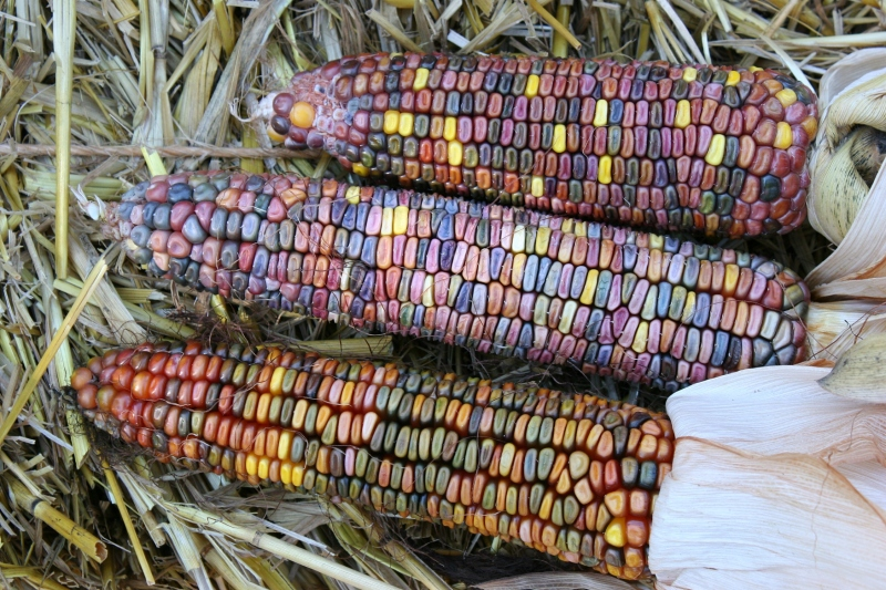 Ears of colorful Indian corn are beginning to show up in vendors' offerings.